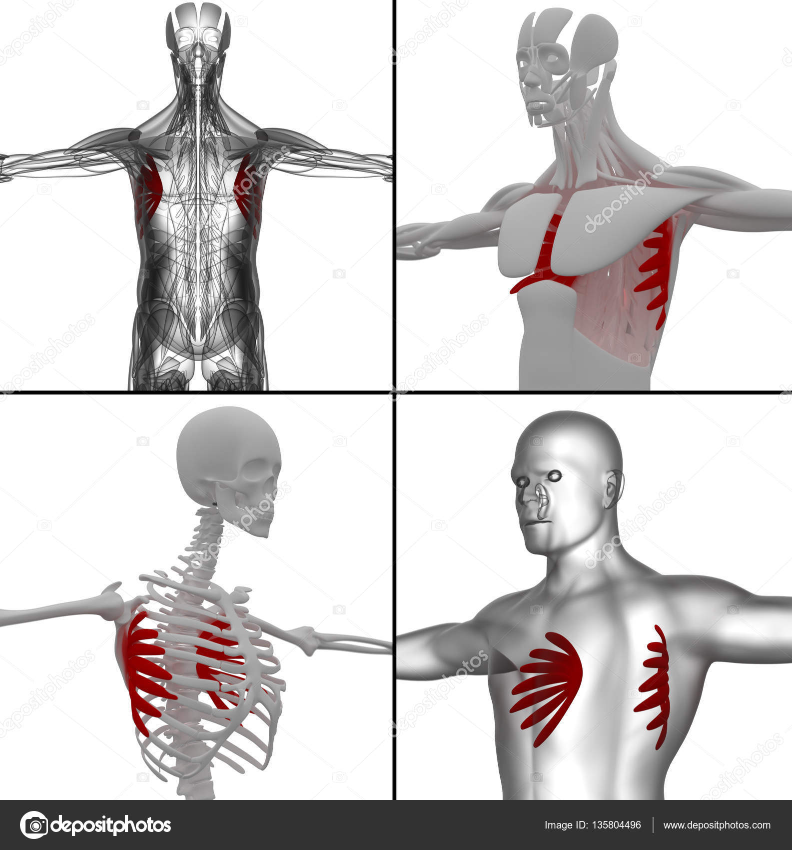 medical illustration of the serratus anterior — Stock Photo ...