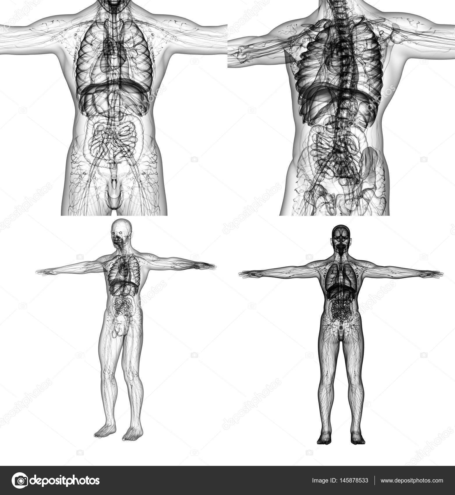 3D Rendering medizinische Illustration der menschlichen Anatomie ...
