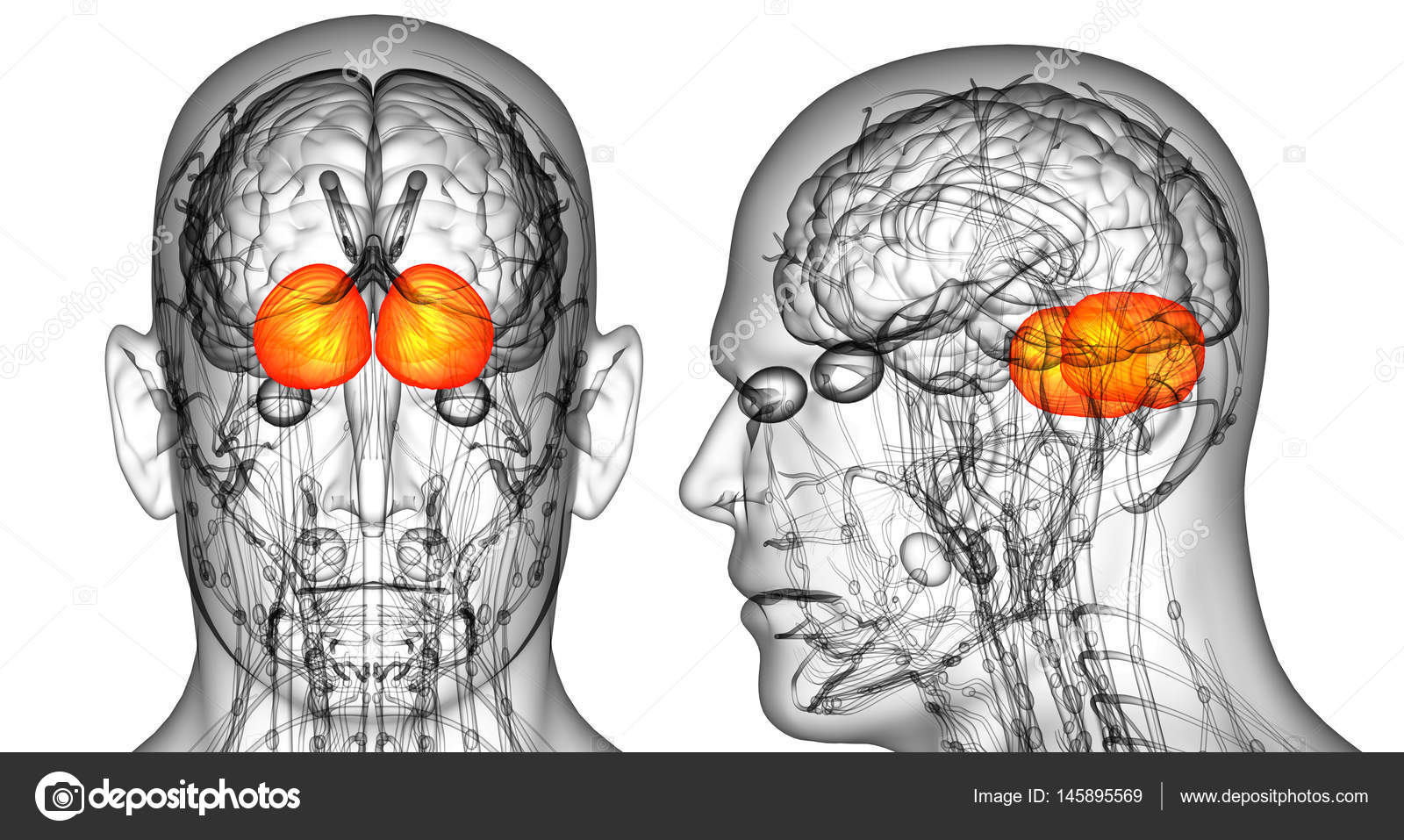3D Rendering medizinische Illustration des menschlichen Gehirns ...