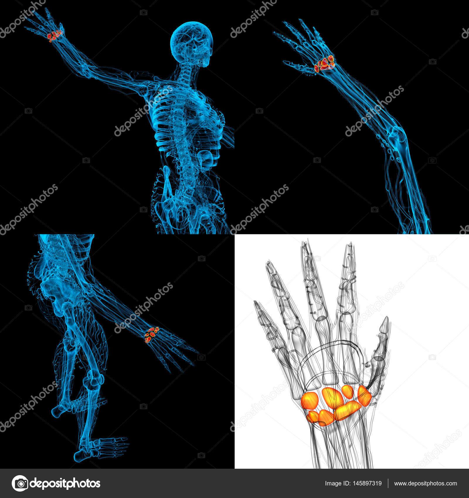 Ilustración de Render 3D de los huesos del carpo humanos — Foto de ...