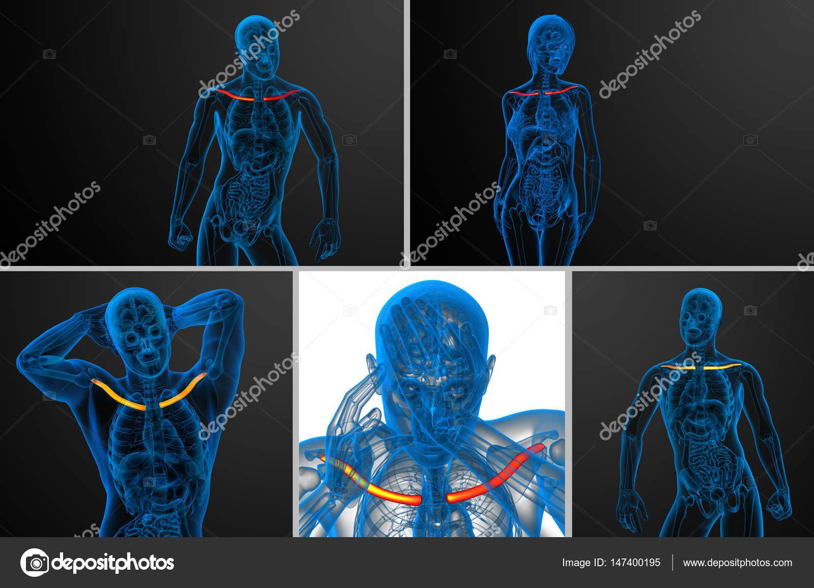 3D ilustración médica de la representación del hueso de la clavícula ...