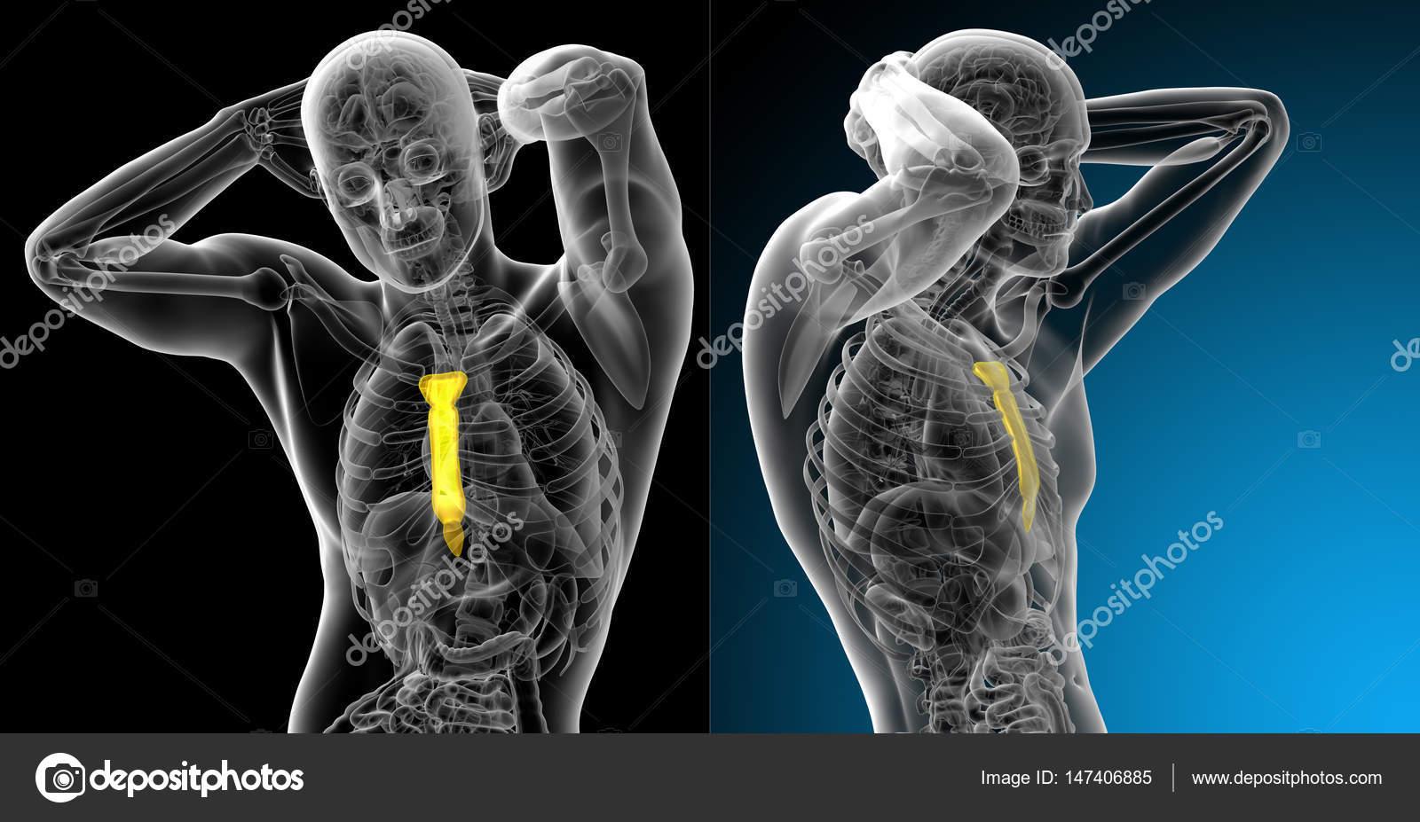 3D ilustración médica de la representación del hueso del esternón ...