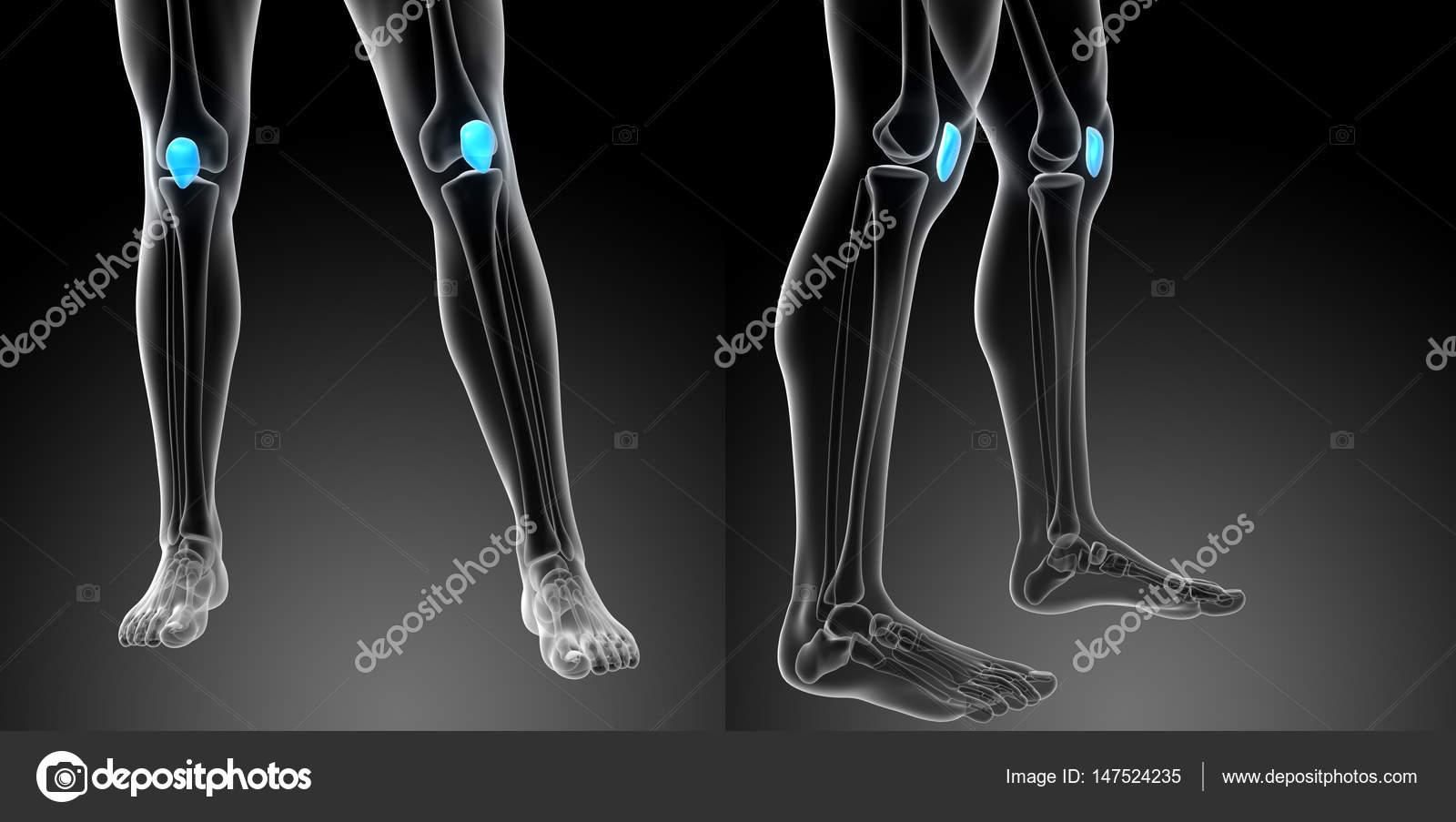 3d rendering medical illustration of the patella bone — Stock Photo ...
