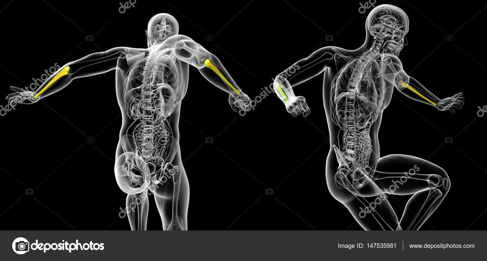 3D ilustración médica de la representación del hueso cúbito — Foto ...