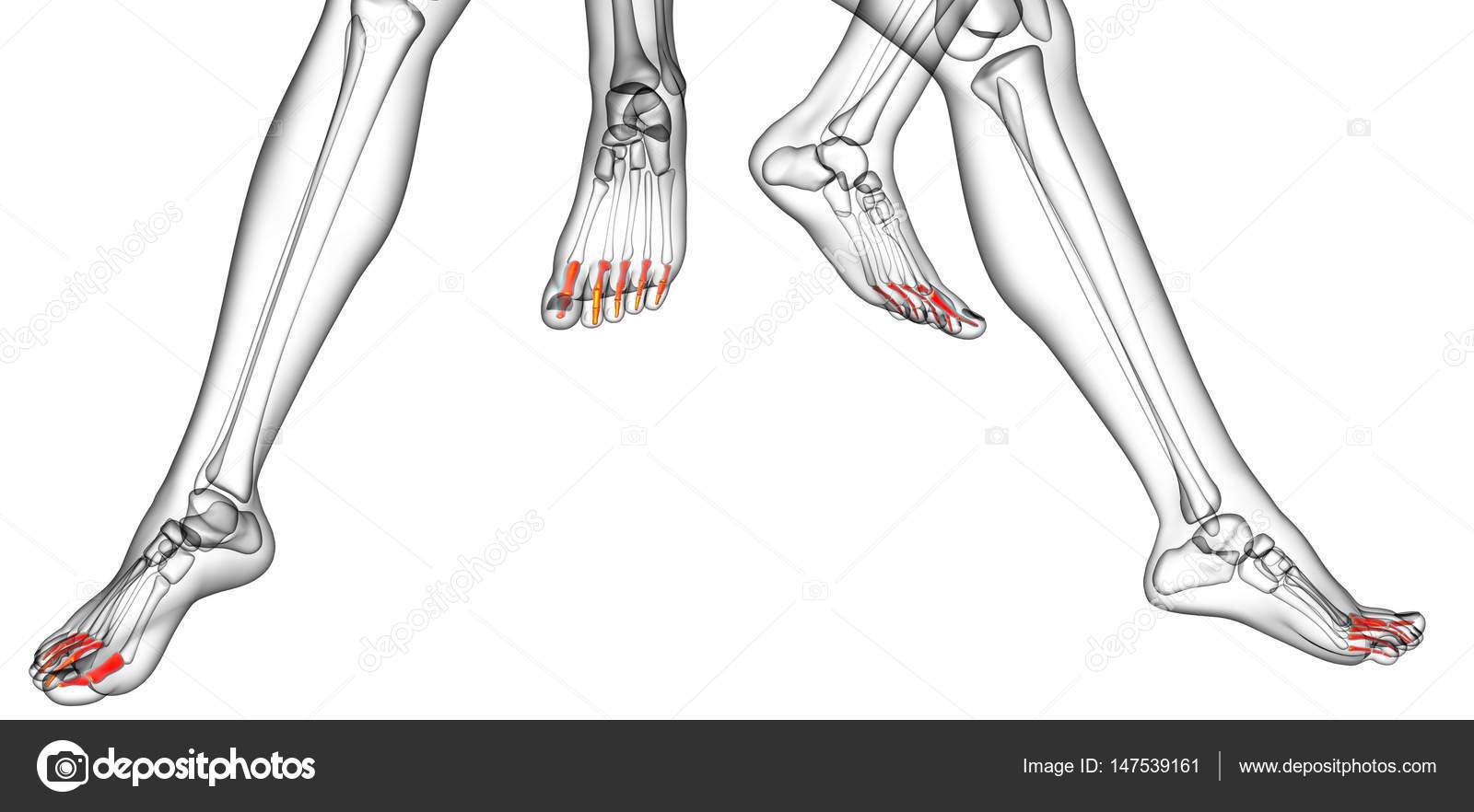 3D Rendering medizinische Illustration der Phalangen Fuß — Stockfoto ...