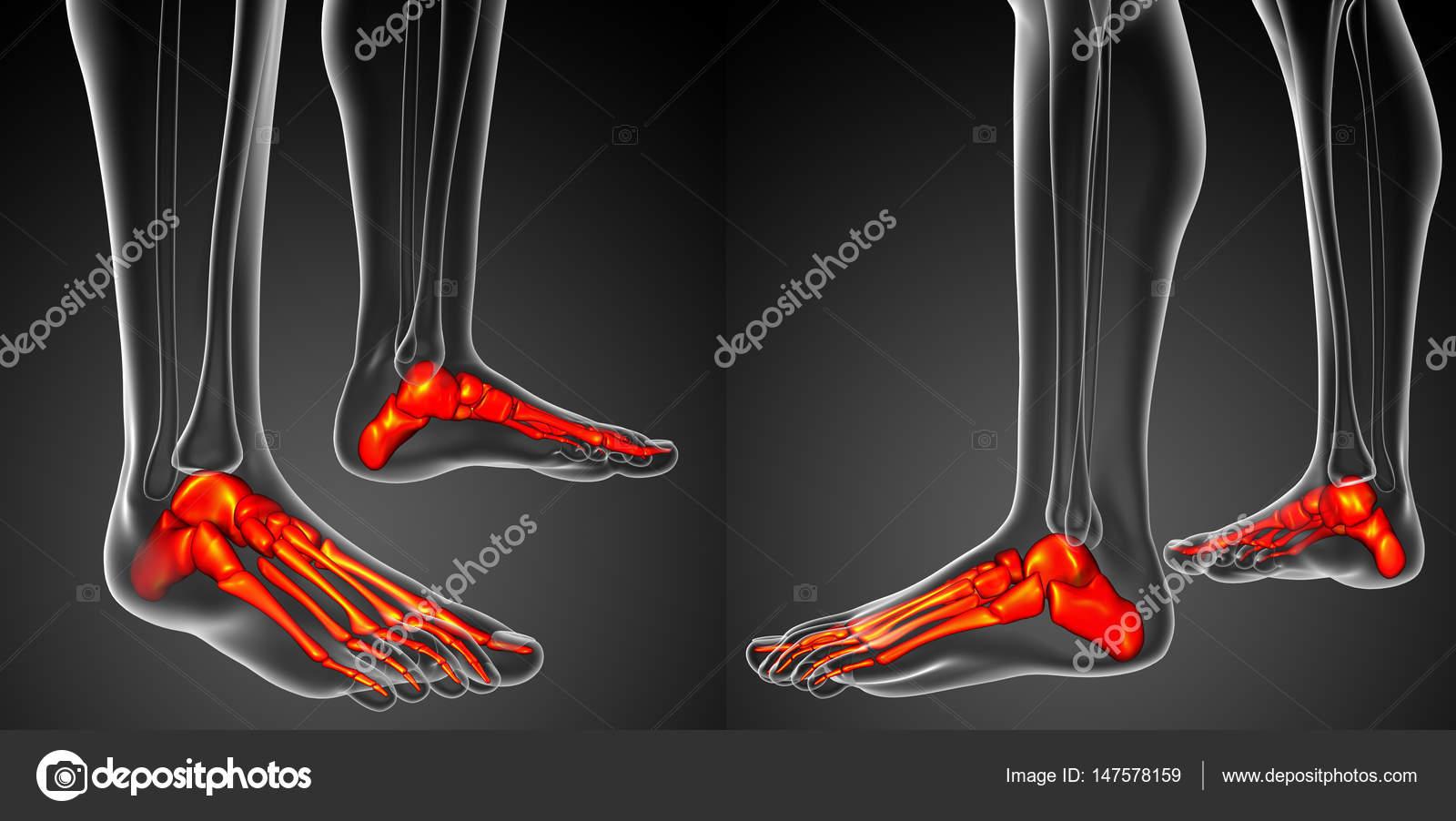 3d rendering illustration of the foot bone anatomy — Stock Photo ...