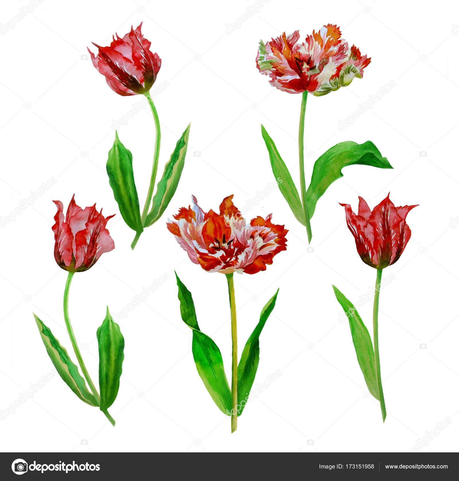Sulu Boya Lale çiçek Stok Foto Piyasheva 173151958