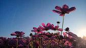 Kozmosz virág reggel