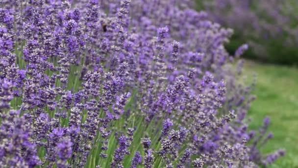 Lavender   -   New Zealand