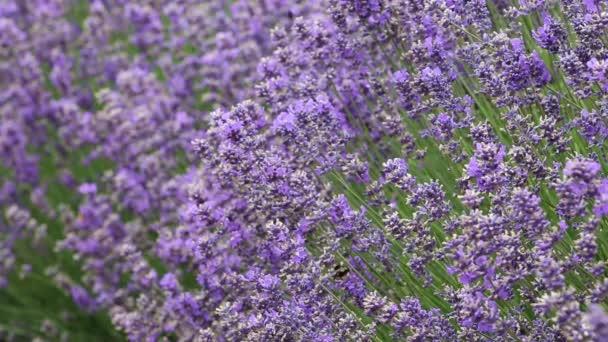 Včely o levandule
