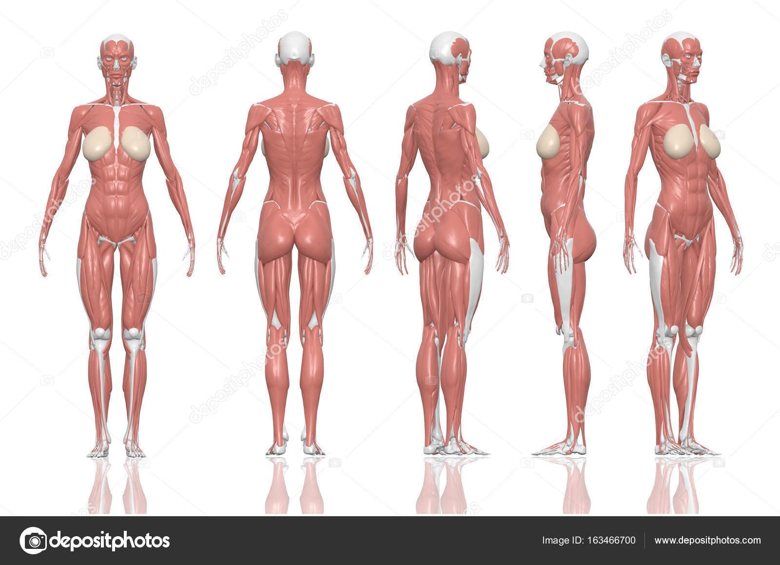 Músculos femeninos de la anatomía humana. 3D ilustración y caminos ...