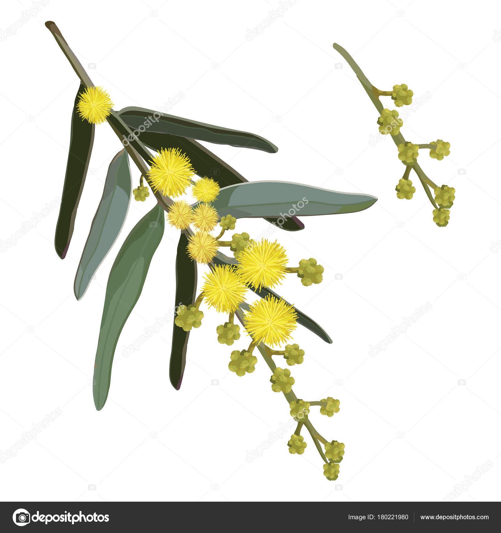 natural yellow wattle tree  u2014 stock vector  u00a9 sketchdesigns  180221980
