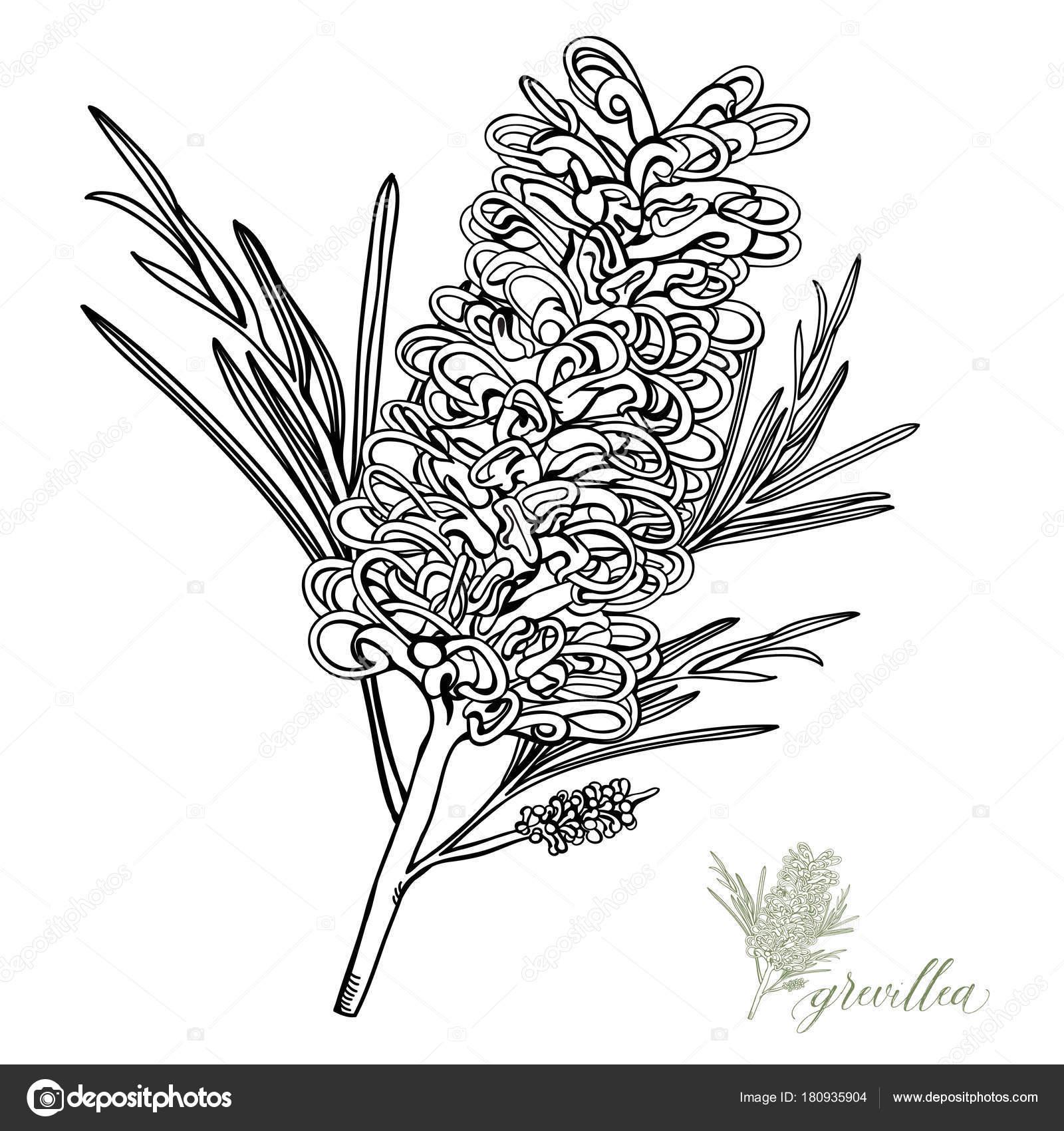 Vector de flores silvestres australiano Grevillea — Vector de stock ...