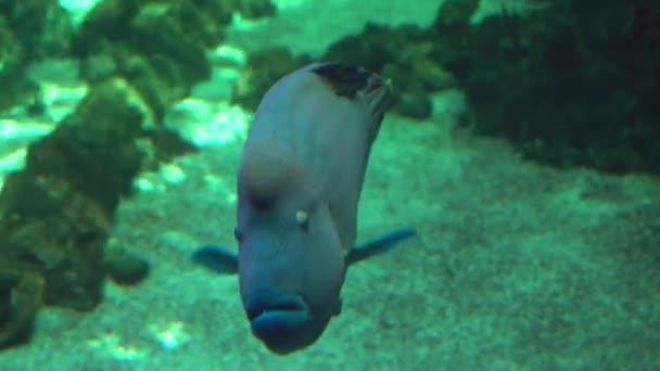Napóleon hal úszik víz alatt egy akvárium / akvárium, közelkép