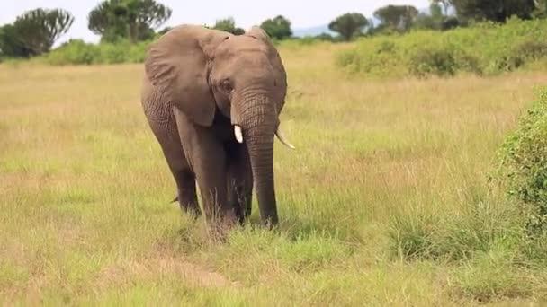 slon kráčí po africké Savaně mezi keři