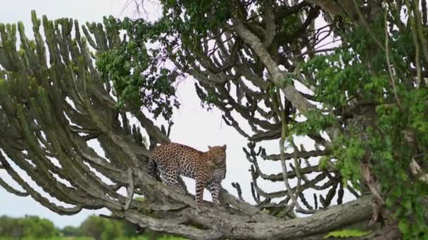 the leopard stands gracefully on a milkweed tree in the African Savannah.