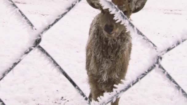 Chodí jeleni sněhem pokryté území