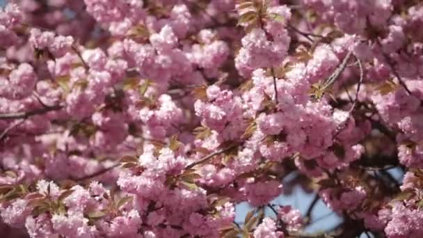 Japanese Sakura blooming tree. Pink lush leaves and stems.