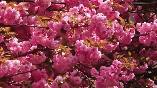 Kvetoucí strom, Japonská Sakura. Růžový svěží listy a stonky.
