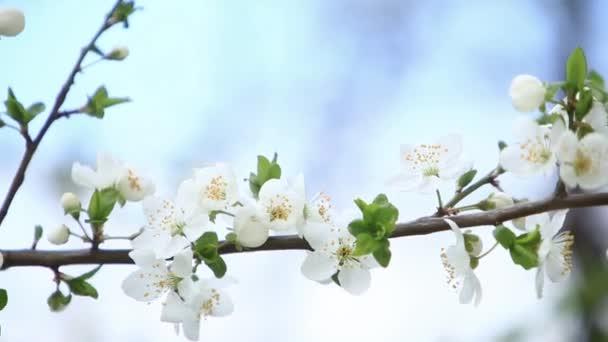 Kvetoucí jabloň. Kvetoucí stromy. Jaro.