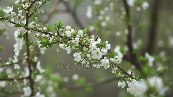 Kvetoucí jabloň. Kvetoucí strom. Jaro. Včela sbírá pyl