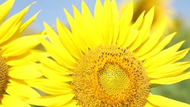 Podzimní slunečnice pod paprsky slunce