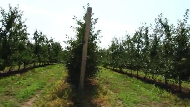 Szép és érett alma. Almafa a kertben.