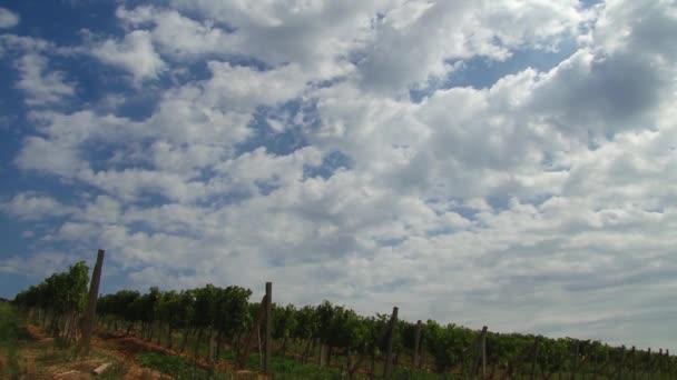 Přenesme se přes vinné hrozny, zrání na vinici. Krajina