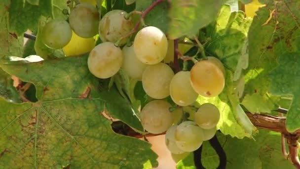 Bor, szőlő, a szőlő érési pásztázásához. Táj