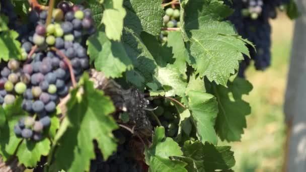 Trsy červených hroznů visí na vinici. Řádky z pinot noir hroznů připraveny k vyskladnění vinici za úsvitu
