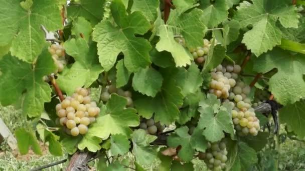 Szőlőfürtök lóg a szőlő. Sorok a pinot noir szőlő készen kell kitárolni szőlőben napkeltekor