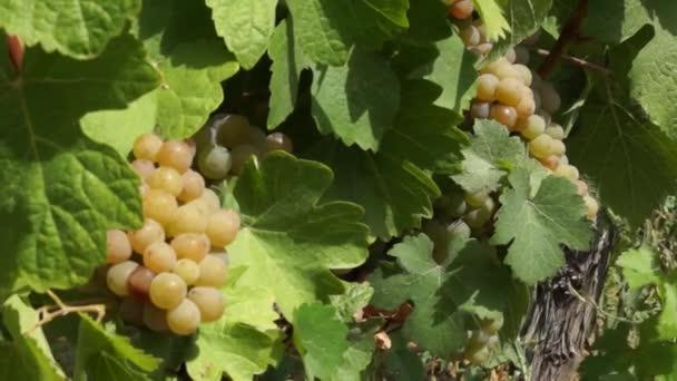 Trauben der Trauben im Weinberg hängen. Reihen von Pinot Noir Trauben abholbereit im Weinberg bei Sonnenaufgang
