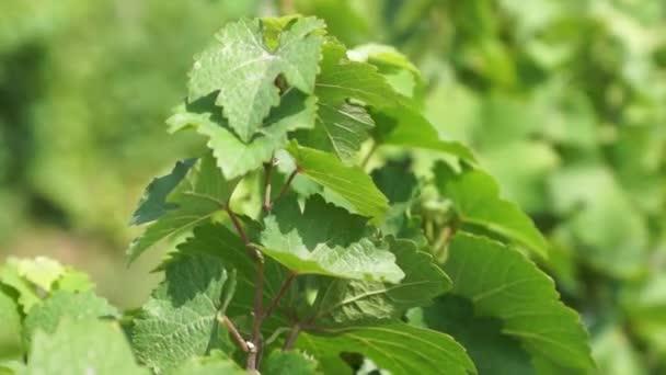 Vinných hroznů visí na vinici. Řádky z pinot noir hroznů připraveny k vyskladnění vinici za úsvitu