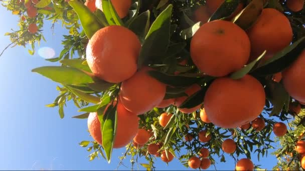 Oranges hanging on branches fruit orchard. Close up of ripe and juicy oranges oe tangerines in fruit plantation. Oranges branch in a fruit garden. Tangerines fruit tree background