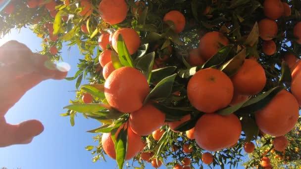 Ruce sbírající zralé mandarinky ze stromu. Detailní záběr osoby trhání šťavnaté pomerančové citrusové plody v sluncem zalité zahradě. Organické ovoce