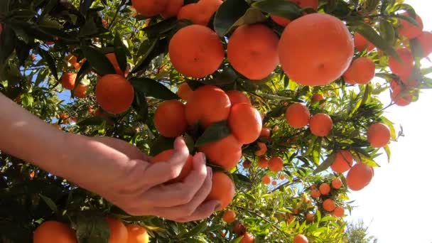 Hands picking ripe tangerines from a tree. Close up of person plucking juicy orange citrus fruits in sunlit garden. Organic fruits