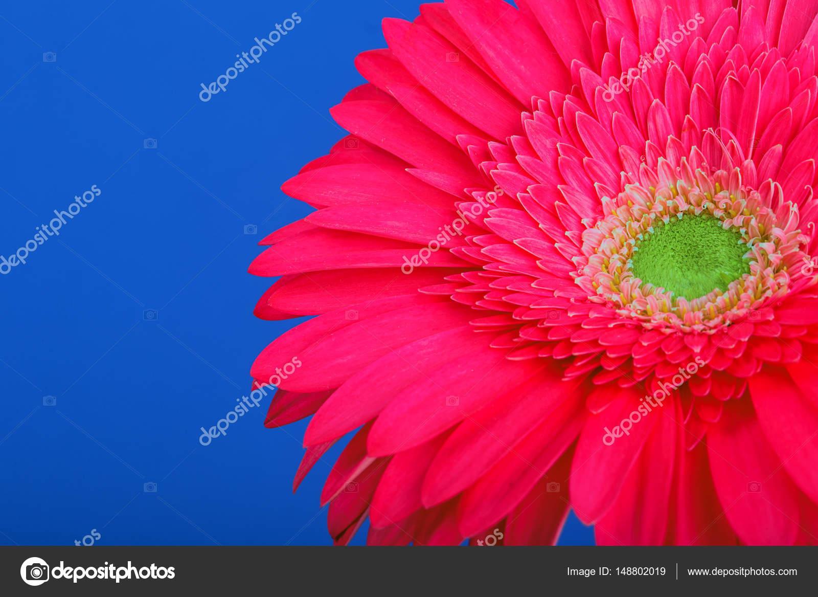 Fleur De Gerbera Rose Sur Un Fond Bleu Photographie Geniuskp