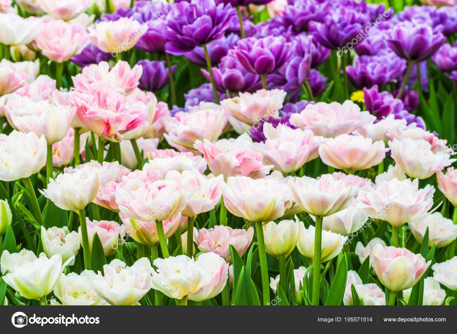Groupe Tulipes Colorees Une Fleur Tulipe Blanche Rose Lilas Est