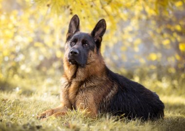 German shepherd in the autumn on the nature