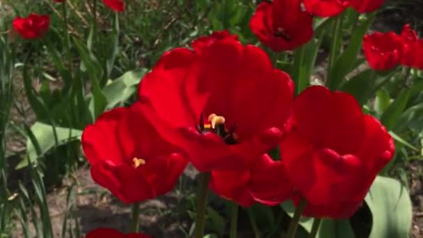 červené tulipány kvetou v zahradě. Červené tulipány zasazené v zahradě. Jarní zahrada. Barevné tulipány v záhonu. Krásné jarní květinové tulipány v zahradě