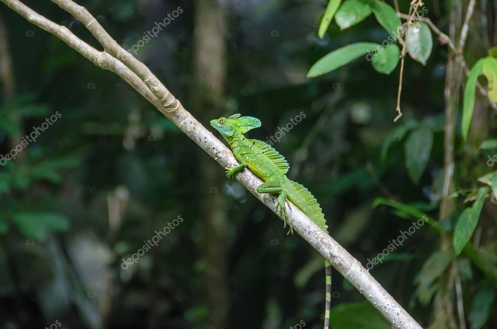 Plumed basilisk or Jesus Christ lizard in Tortuguero National Park, Costa Rica