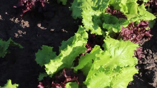 Friss zöld organikus saláta levelek a kerti ágyon, közelkép, világos zöldek a nap alatt, könnyű szellő.