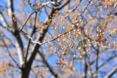 Strom ráje s větvemi plnými semen, na konci podzimu