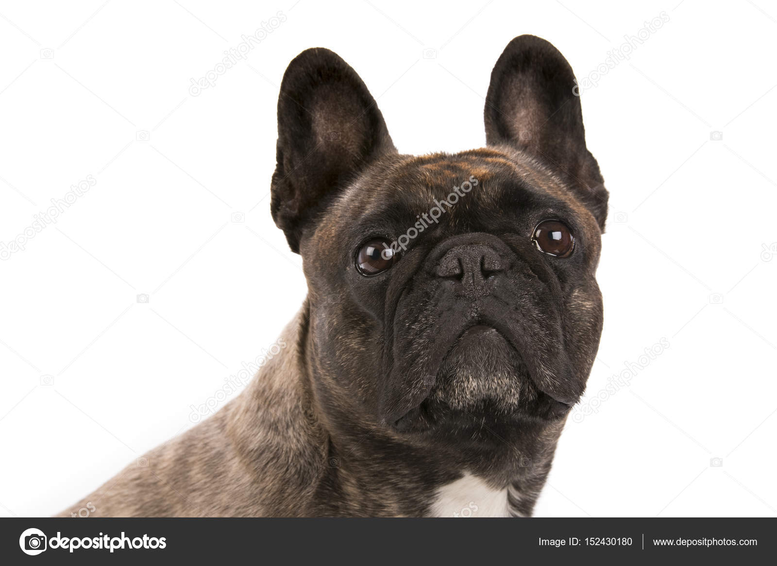 hund på fransk