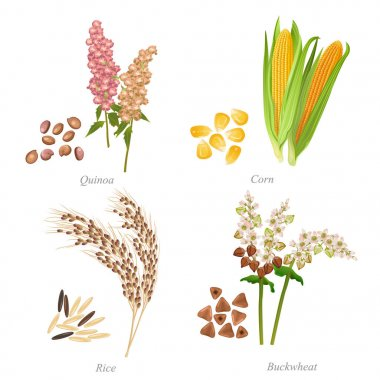 Four cereals in form of grains and ears