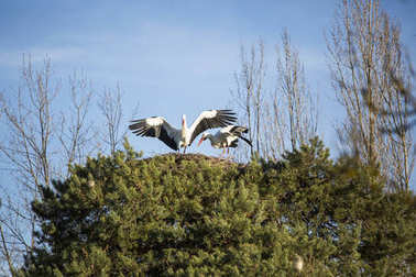 Two storks in a nest.