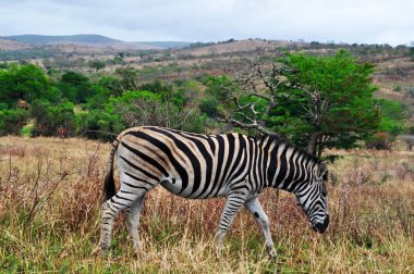 Safari in South Africa: a zebra feeding in the Hluhluwe Imfolozi Park (Hluhluwe Imfolozi Game Reserve), the oldest proclaimed nature reserve in Africa since 1895, located in KwaZulu-Natal, the land of the Zulus