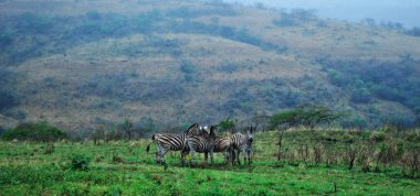 Safari in South Africa: a herd of zebras in the Hluhluwe Imfolozi Park (Hluhluwe Imfolozi Game Reserve), the oldest proclaimed nature reserve in Africa since 1895, located in KwaZulu-Natal, the land of the Zulus