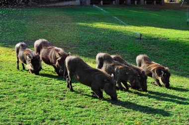Safari in South Africa: wild boars feeding in the Ngala Private Game Reserve, a luxury safari lodge located in the Kruger National Park, one of the largest game reserves in Africa since 1898, South Africa's first national park in 1926