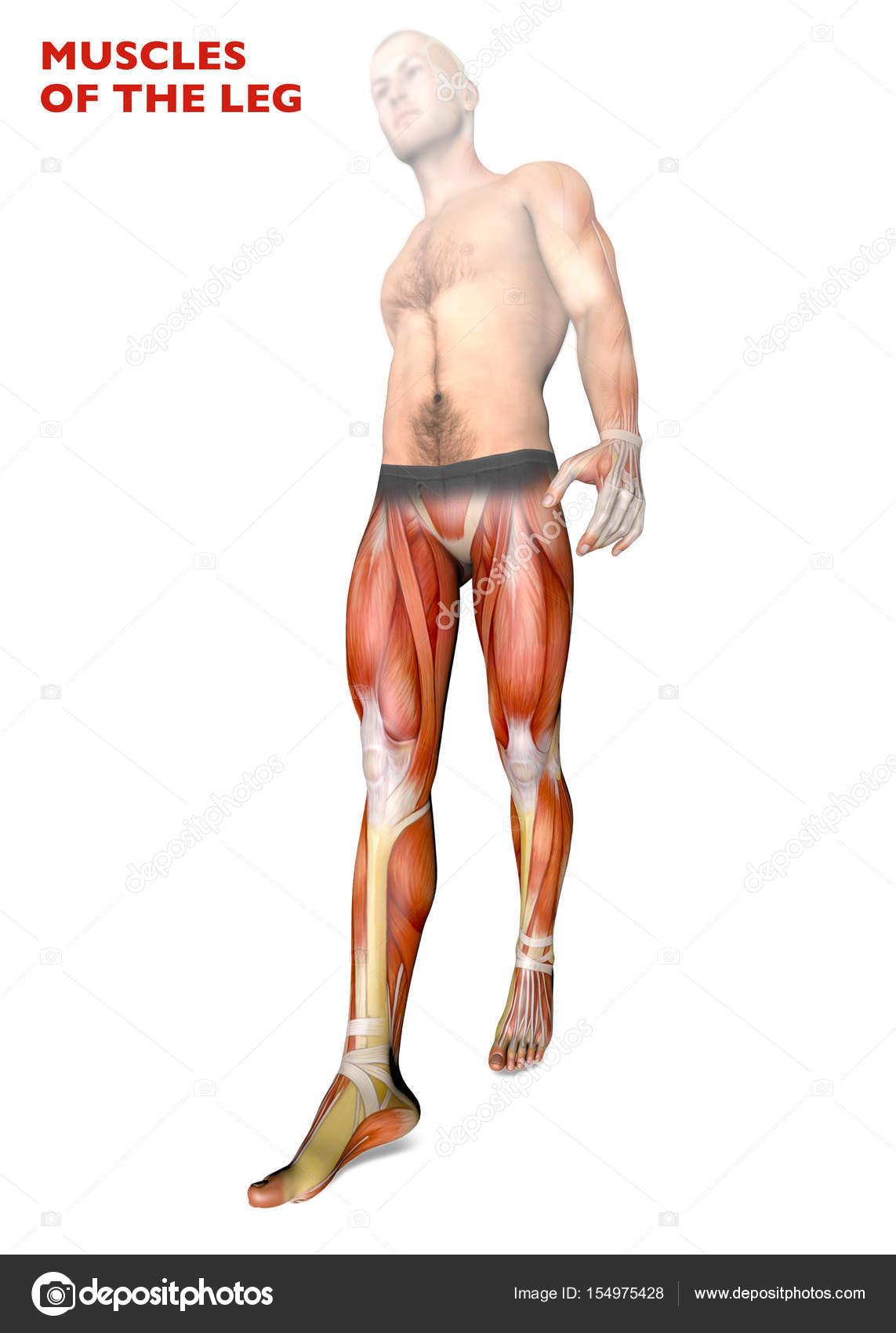 Beinmuskulatur, menschliche Körper, Anatomie, Muskulatur, Anatomie ...